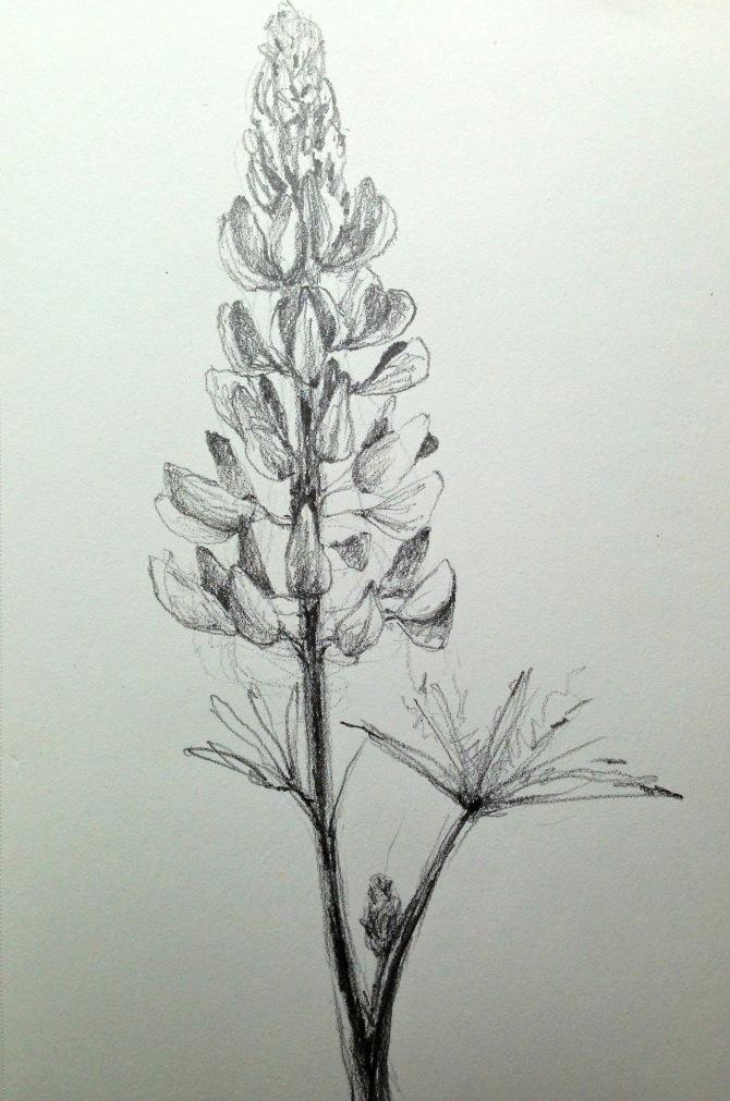 lupinesketch