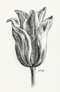 Tulip Study: fountain pen, black ink